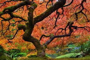 Maple tree at portland Japanese garden in fall