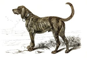 Mastiff dog engraving 1851