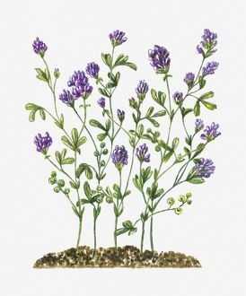 collections/dorling kindersley prints/medicago sativa alfalfa clusters purple flowers