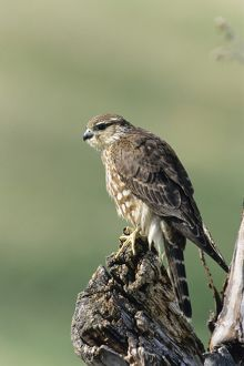 Merlin -Falco columbarius-, female, USA