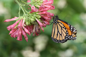 Monarch butterfly -Danaus plexippus-, found in North America and northern South America