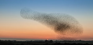 Murmuration of starling on Anglesey