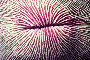 Mushroom coral (Fungia fungites), close-up