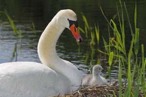 Mute Swan with cygnet -Cygnus olor- on nest, Germany, Europe