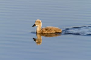 Mute Swan -Cygnus olor-, chick with reflection, Seewinkel, Burgenland, Austria