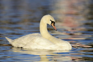 Mute Swan -Cygnus olor- in the evening light, Cham, Canton of Zug, Switzerland