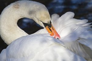 Mute Swan -Cygnus olor-, North Hesse, Hesse, Germany