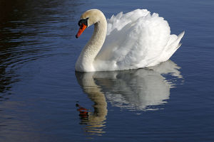 Mute Swan -Cygnus olor- with reflection in water