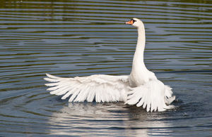 Mute Swan -Cygnus olor- spreading its wings, North Hesse, Hesse, Germany