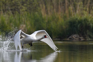 Mute Swan -Cygnus olor-, starting, Mecklenburg-Western Pomerania, Germany