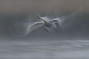 Mute Swan -Cygnus olor-, starting, morning mist, Mecklenburg-Western Pomerania, Germany