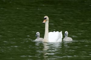 Mute Swan -Cygnus olor- swimming with two cygnets on Wichelsee lake, Sarnen, Switzerland