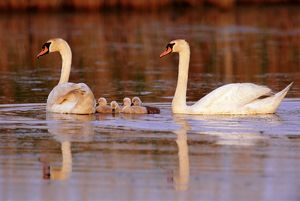 Mute swans (Cygnus olor) with cygnets swimming, New Jersey, USA