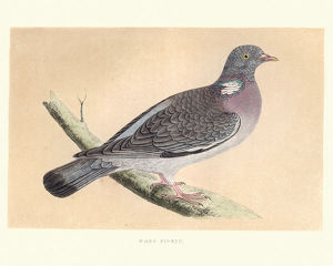 Natural history, Birds, common wood pigeon (Columba palumbus)