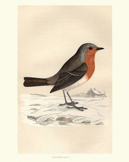 collections/digital vision vectors coat arms engravings 18th century/natural history birds robin redbreast erithacus