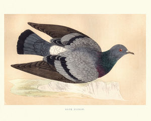 Natural history, Birds, Rock dove (Columba livia)