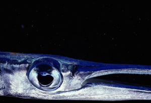 Needlefish (Belonidae), close-up of eye