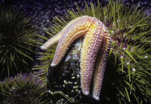Northern Sea Star opens a mussel