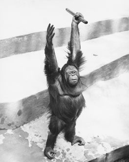 Orang-utan standing on steps, raising hands with stick, (B&W)
