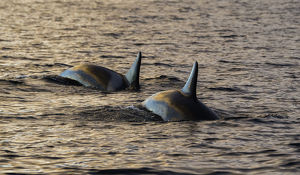 Orcas in the morning light