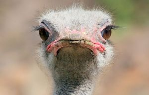 comedy wildlife photography collection/ostrich staredown