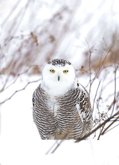 Snowy owl (Bubo scandiacus) closeup hunting over a snow covered field in Canada