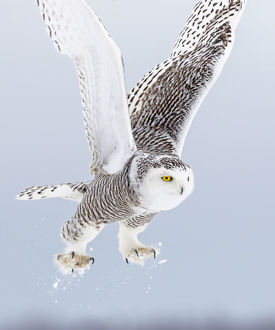 Snowy owl (Bubo scandiacus) lifts off to go hunting over a snow covered field in Canada