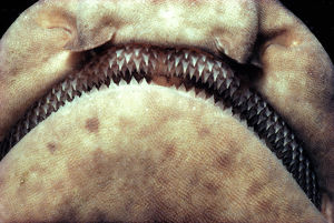 Rows of pointed teeth in mouth of swell shark (Cephaloscyllium ventrio