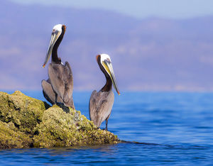 Pair of Brown Pelicans (Pelecanus occidentalis) perching on rock, Baja Peninsula