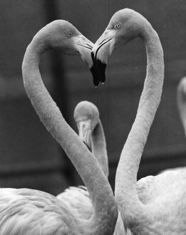 A pair of Rosy flamingoes with their heads together in the shape of heart at Chessington