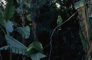 Parakeet perched on a branch in the aviary of Loro Parque parrot park in Puerto de la Cruz
