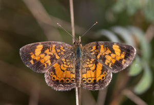 Pearl Crescent Butteffly
