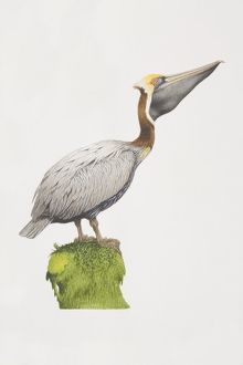 Pelecanus occidentalis, Brown Pelican perched on a green stump, side view