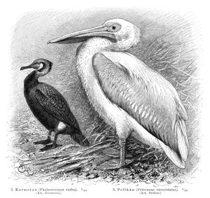 Pelican and Cormorant engraving 1895