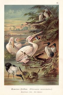 Pelicans illustration 1888