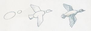 Pencil drawing of three stages of illustrating duck flying starting with basic body outline