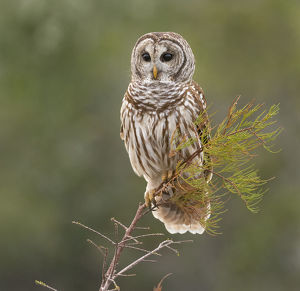 Perching Barred Owl