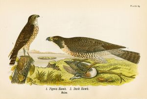 Pigeon hawk bird lithograph 1890