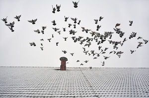 Pigeons taking flight from the snow-covered roof of a barn, Eckenhaid, Eckental, Middle Franconia