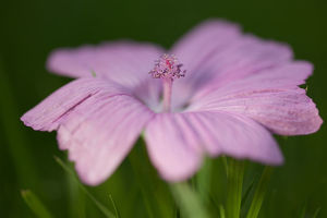 Pink Geranium Lying on Grass
