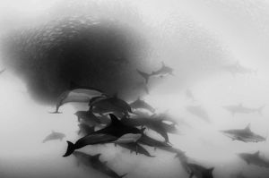 Pod of common dolphins attack a sardine bait ball during the sardine run, Wild Coast, South Africa