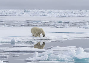 Polar bear (Ursus maritimus) looking at reflection, Svalbard, Norway