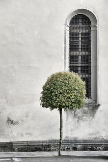 Pollarded tree in a city street in Italy