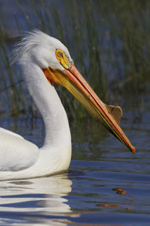 Portrait of American white pelican (Pelecanus erythrorhynchos), Oregon, USA