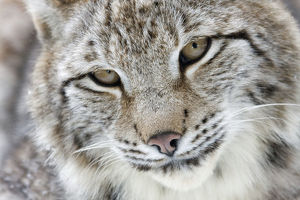 wilfried martin nature photography/portrait eurasian lynx lynx lynx hesse germany