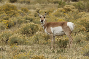 Pronghorn Antelope (Antilocapra americana) in meadow, Yellowstone National Park (Montana