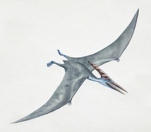 Pteranodon gliding, side view.