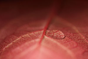 Red Leaf with Water Droplets