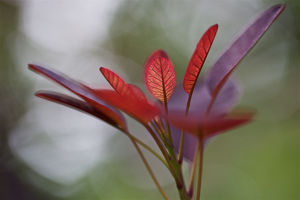 Red Leaves at High Resolution Showing Extreme Detail
