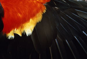 Red-winged Blackbird, wing feathers, section